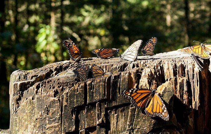 Mariposa monarca, un espectáculo que no te puedes perder