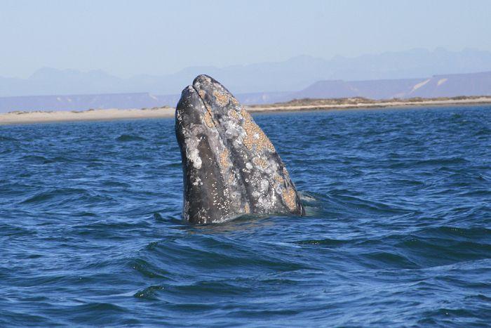 Avistamiento De Ballenas En La Paz Conociendo El Mar De Cort S