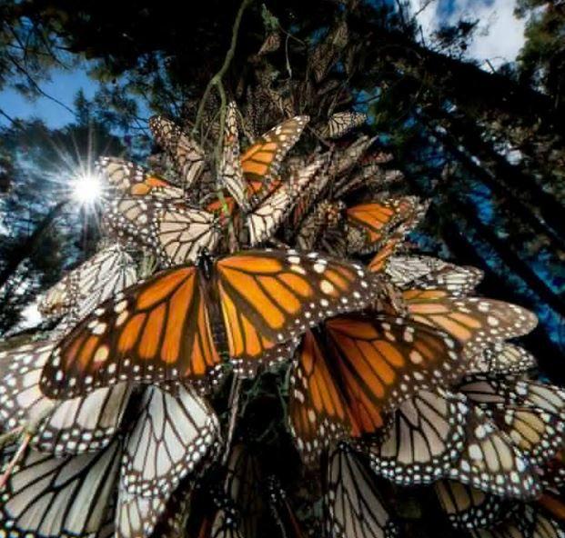Admira a la mariposa monarca en México
