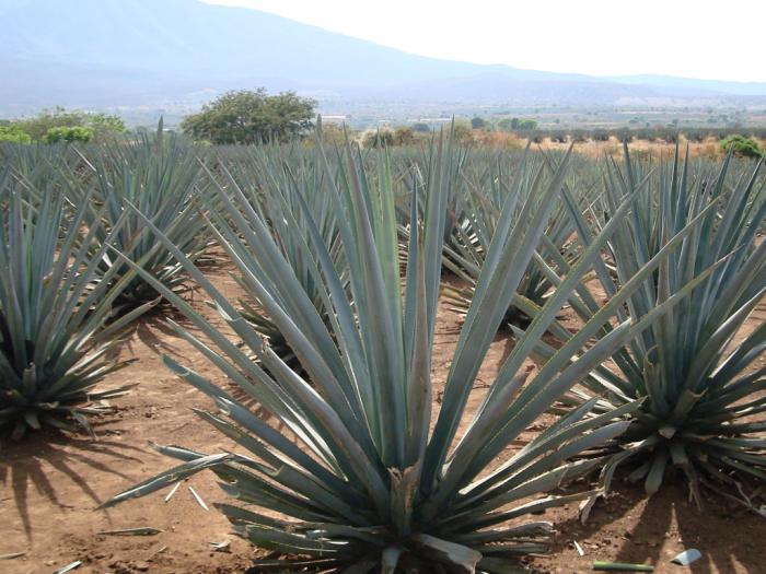 Viaje por La Ruta del Tequila en Guadalajara