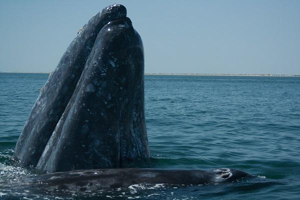 Ecoturismo: ¡a visitar a las ballenas en Baja California!