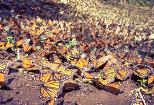 Mariposas monarca de Michoacán
