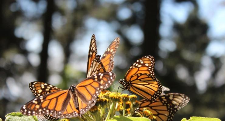 Visita el Santuario de la Mariposa Monarca en México