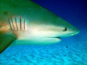 Descubre más sobre el buceo con tiburones en México