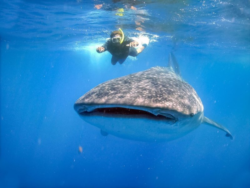 Nado con tiburón ballena, aventura en Los Cabos